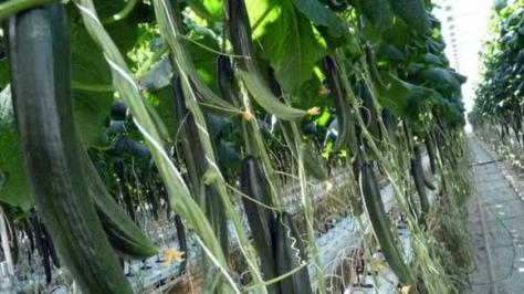cucmber farming